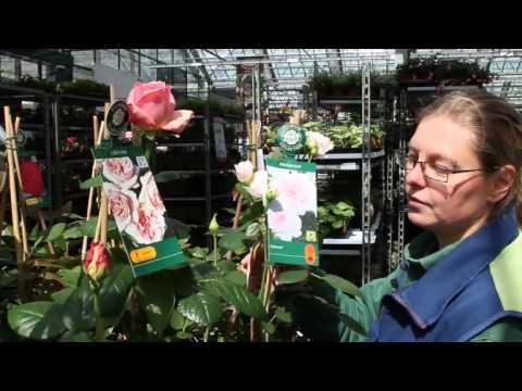 Rosen Pflanzen Und Pflegen Edelrose Beetrose Oder Kletterrose
