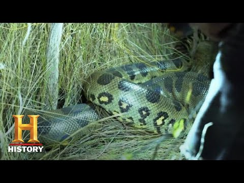 Swamp People: Serpent Invasion: GIANT ANACONDA HUNT IN EVERGLADES (Season 1) | History