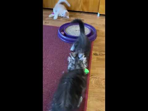 Gwen's 8 week old Maine coon kittens playing with a ton of toys