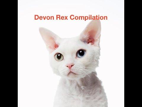 Devon Rex Cat Compilation