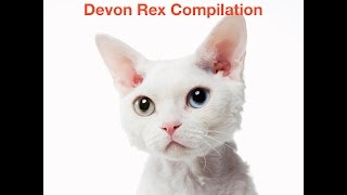 Devon Rex Cat Compilation