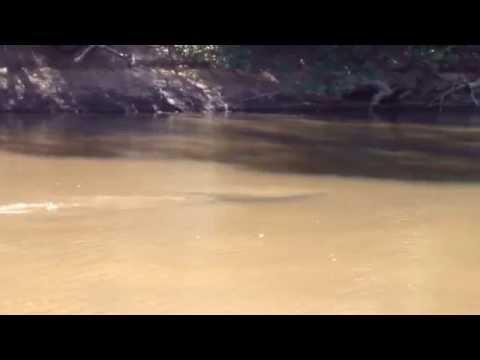 Crocodile Mary River Australia