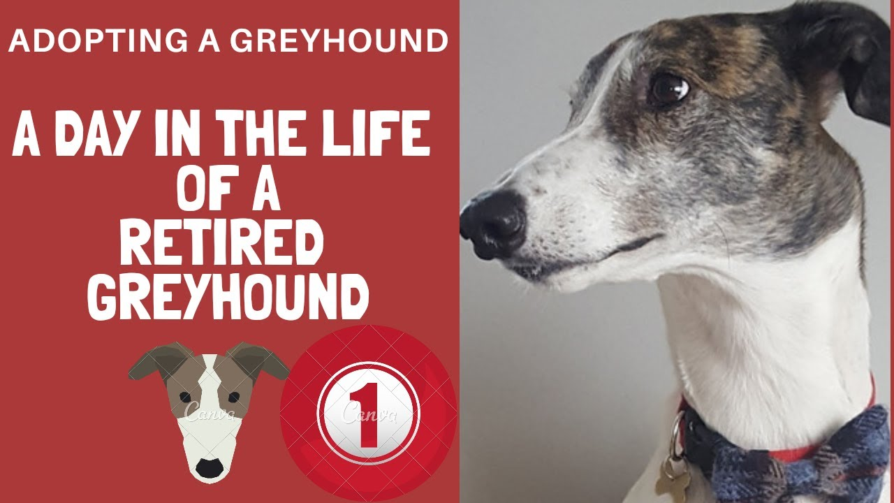 A day in the life of a greyhound - Good morning Magnus