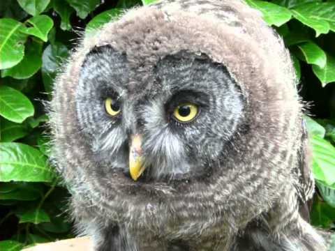 great grey owl crying