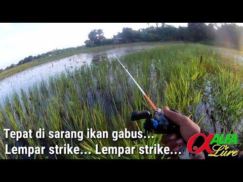 Strike Bertubi-tubi Mancing Ikan Gabus Di Sawah Pada Sore Hari || Casting Gabus Haruan