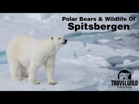 Polar Bears and Wildlife of Spitsbergen Svalbard