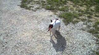 Annie Walking Four Weeks After Surgery For Luxating Patella