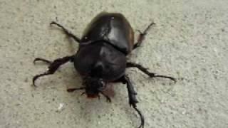 灯下採集した天然のカブトムシです。 体は♂っぽいのに、顔は♀?