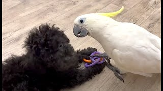 поцелуй собачки Афрка и попугая Чарли ) kiss of a dog Afrka and a parrot Charlie. Funny Parrots