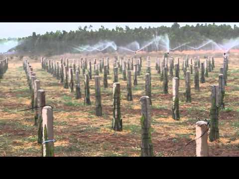 Hệ thống tưới phun mưa cho cây Thanh Long - Meganet - Made in Israel