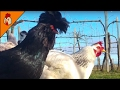 Chicken Sounds in the Morning - Relaxing Chicken Sound for Kids - Chicken Sounds Effect