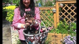Yorkshire Terrier Welpen Mit 7 Wochen Www.welpenvermittlung-hunde.at