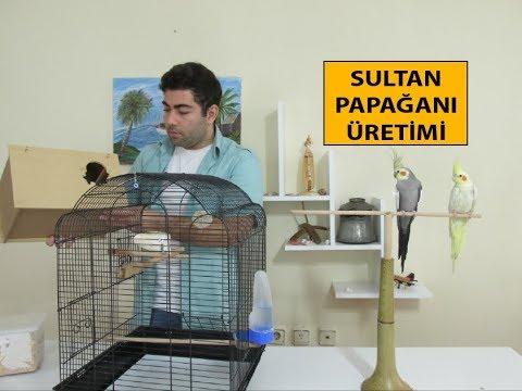 Sultan Papağanı Üretimi