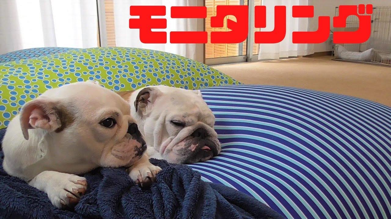 本当はどうなの?飼い主がいなくてもブル2匹は仲良くできるのか?