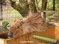 No Other Capybara Did This Before Choco  チョコ、この温泉の経験を発明した。 素晴らしいカピバラ