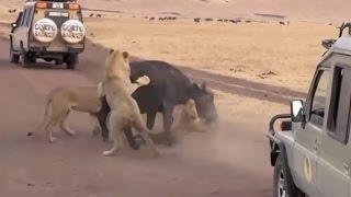 【取材班の目の前で】バッファローがライオンに襲われて食されるまで 【...