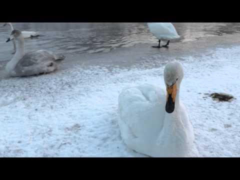 Whooper Swan Sings Me the Strangest Song Ever - Cygne chanteur me chante une chanson très bizarre
