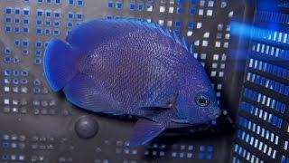 Fiji Blue Midnight Pygmy Angelfish