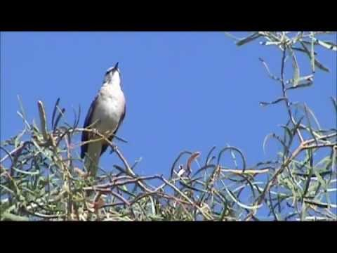Northern Mockingbird Singing