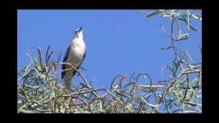 Northern Mockingbird Singing
