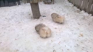 Щенки пекинеса 4 месяца