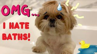 Dramatic shih tzu puppy hates bath time, makes a scene