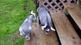 Baby Goats (3 weeks old)