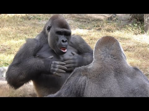 Gorillas Play Fight 1Hour UHD 4K FYV