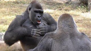 Gorillas Play Fight 1Hour UHD 4K FYV
