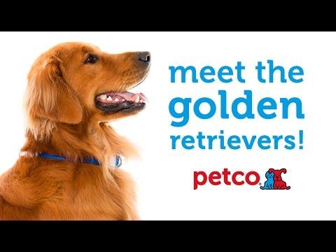 Golden Retriever Dog Breed (Petco)
