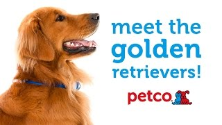 Golden Retriever Dog Breed (petco)