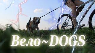 Как научить собаку бежать возле велосипеда | Ездовые собаки | Бигль Хена