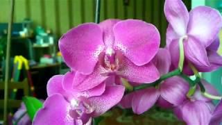 Пересадка взрослой цветущей орхидеи в закрытую систему/Керамзит супер грунт/Обзор  орхидей июнь