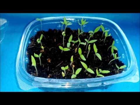 Как и когда сеять рассаду перца и еще 5 дел в феврале