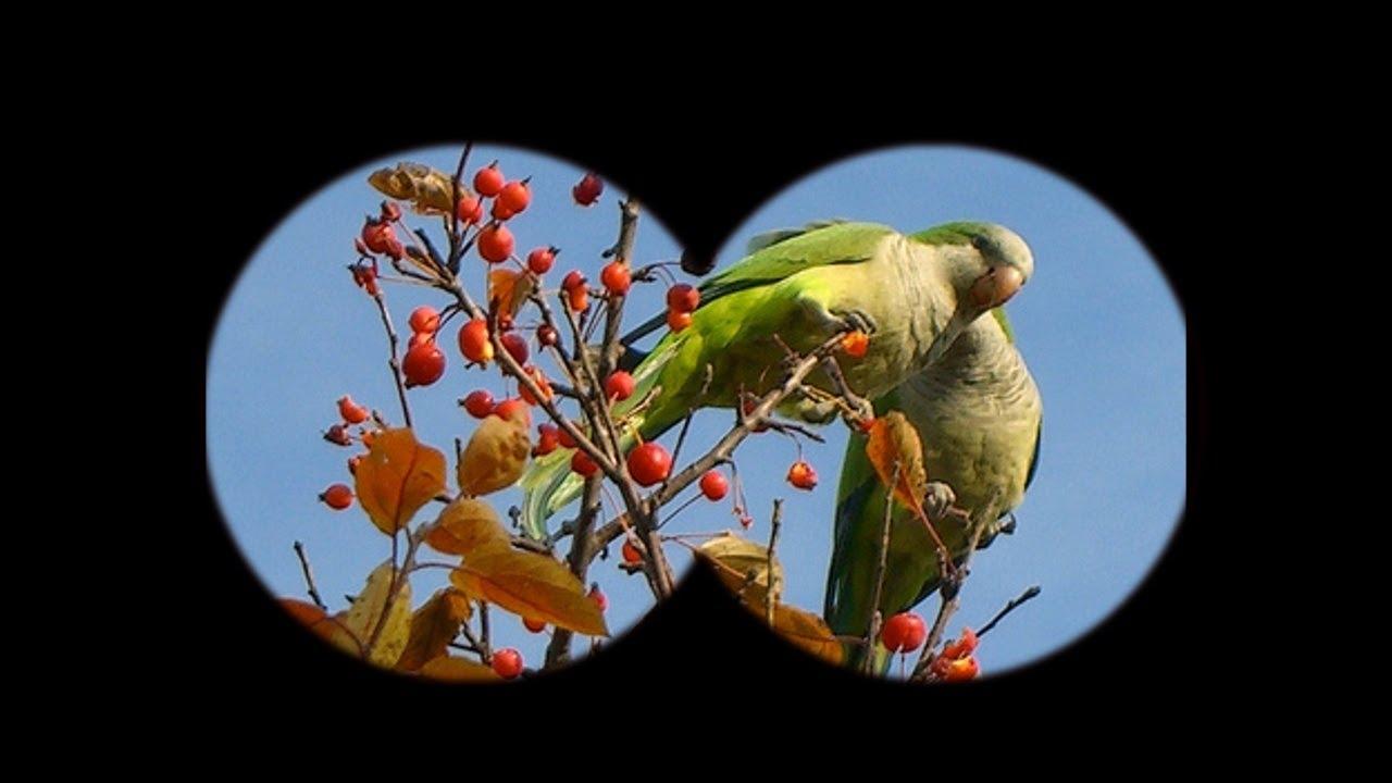 Chicago: A home fit for wild parrots   WBEZ
