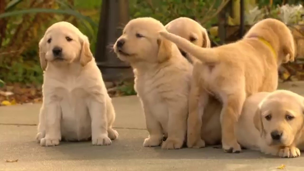 Surprise Its A Puppy Golden Lab Or Husky Cross Youtube