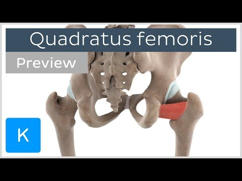 Functions of the quadratus femoris muscle (preview) 3D Human Anatomy | Kenhub