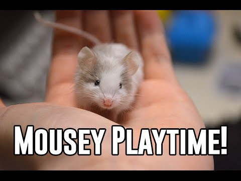 Playtime With Pet Mice