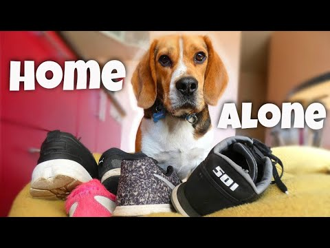What does my dog do when he's home alone? (Funny beagle Marsas)