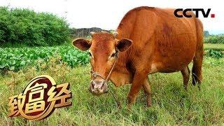 《致富经》 20190711 西装先生养黄牛 奇招卖出上千万| CCTV农业