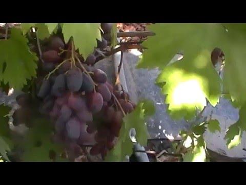 Сорт винограда Мария Магдалена - сезон 2015