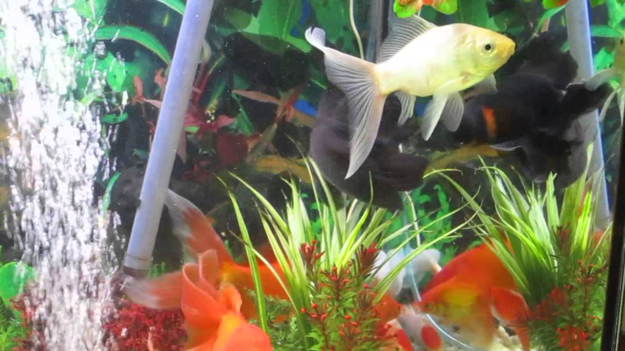 Riproduzione pesci rossi 3 anni youtube for Riproduzione pesci rossi in laghetto