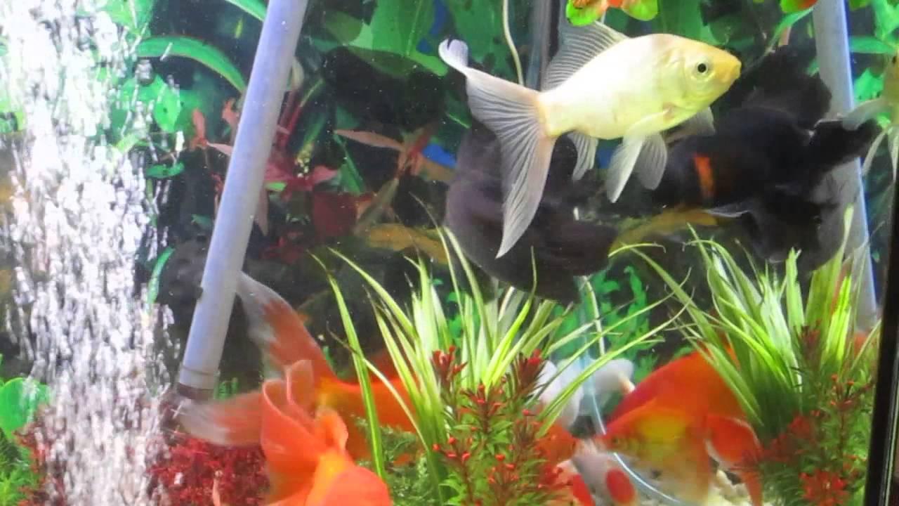 riproduzione pesci rossi 3 anni youtube