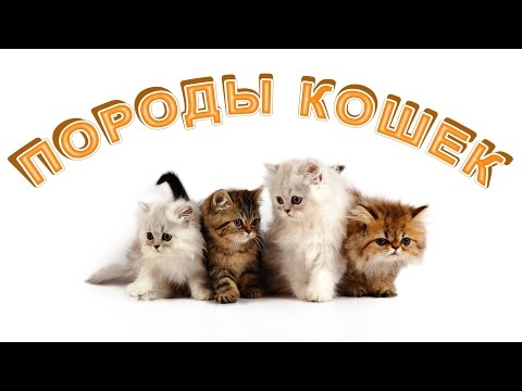 Топ 5 Самые пушистые кошки в мире. Породы шикарных кошек