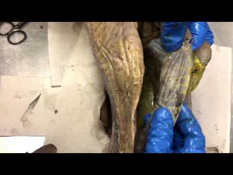 Dogfish Shark Digestive System