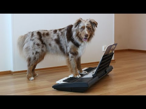 Dog Plays Piano | Pekka the Australian Shepherd