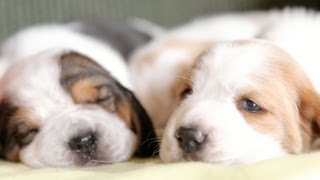 2 Week Old Basset Hound Puppies Nap On a Yellow Blanket