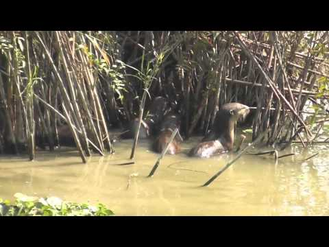River Otters in Kaziranga, India