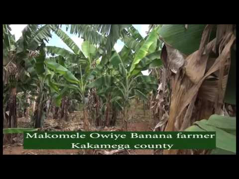 BANANA FARMING IN KAKAMEGA-farmers check kts tv kenya