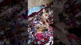 Абиссинская кошка звезда